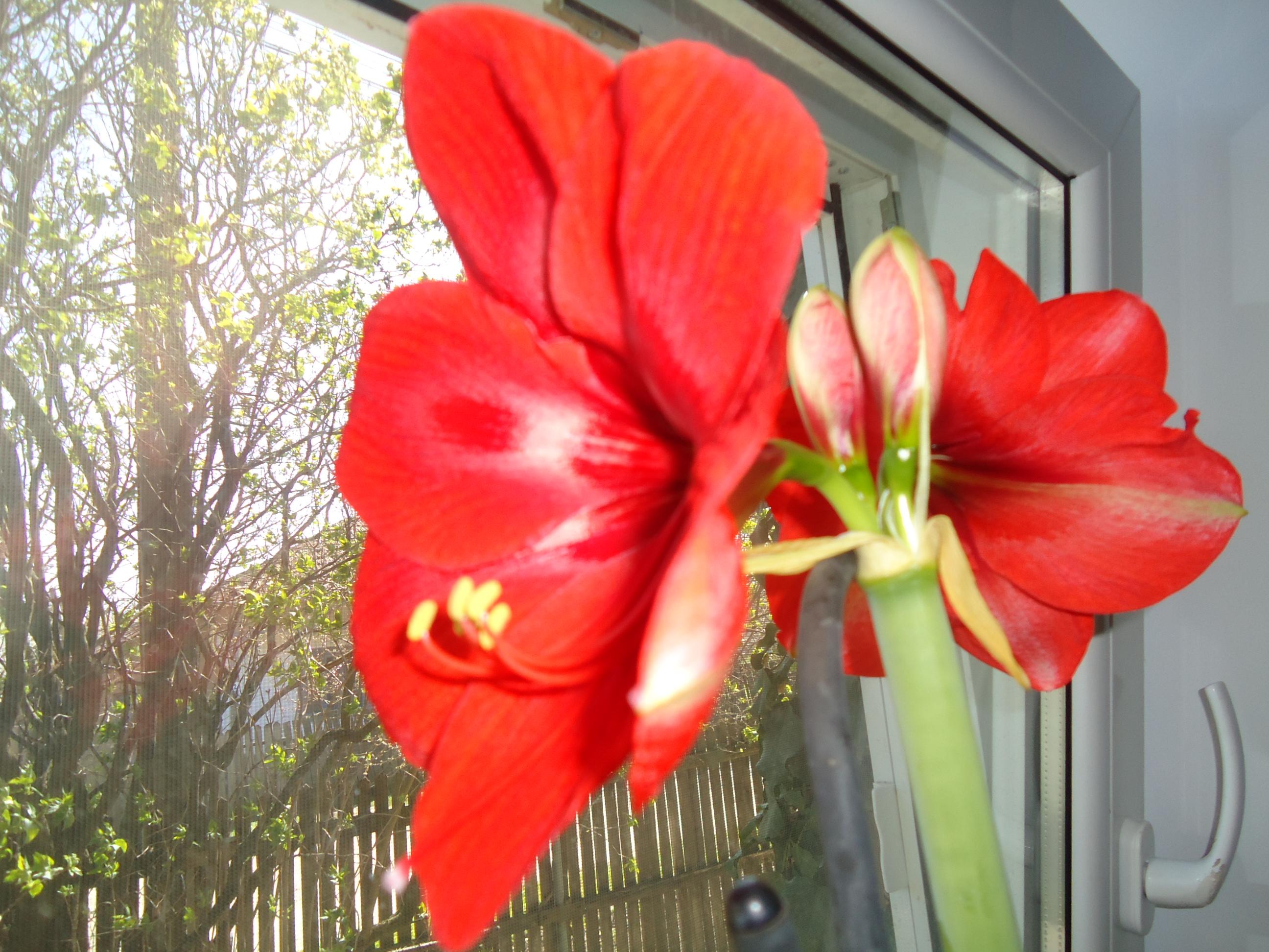 Splendoare roşie